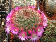 Mammillaria purpurascens